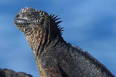 Marine Iguana (Amblyrhynchus cristatus) portrait, South Plaza Island, Galapagos Islands
