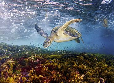 Green Sea Turtle, Chelonia mydas, foraging in the shallows. Sea of Cortez, Mexico, Pacific Ocean.
