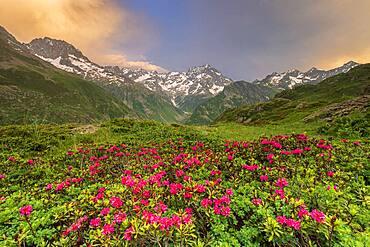 The Gioberney glacial cirque, flowering Alpine Rose (Rhododendron ferrugineum), La Chapelle-en-Valgaudemar, Ecrins National Park, Hautes-Alpes, France