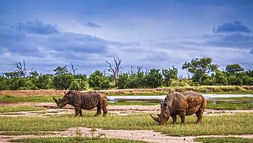Two Southern white rhinoceros (Ceratotherium simum simum) in wide angle view in Hlane royal National park, Swaziland scenery