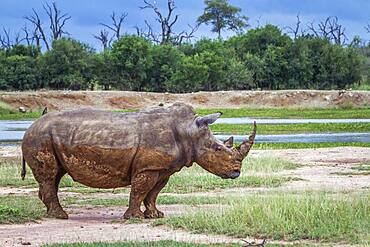 Southern white rhinoceros (Ceratotherium simum simum) in wide angle view in Hlane royal National park, Swaziland scenery