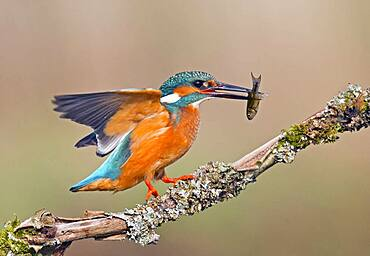 Common Kingfisher (Alcedo atthis) with a fish. Kirckudbright, Scotland.