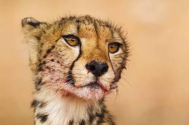 Cheetah (Acinonyx jubatus). Subadult female. Has been feeding on a springbok (Antidorcas marsupialis). Kalahari Desert, Kgalagadi Transfrontier Park, South Africa.