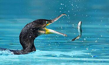 Great Cormorant (Phalacrocorax carbo) fishing, Alsace, France