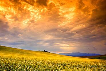Sunset in the Rapeseed planting fields, el Casar, Castilla la Mancha, Spain