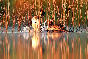 Ritual of mating of Great crested Grebe (Podiceps cristatus) in in early spring, Fernan Caballero, Ciudad Real, Spain
