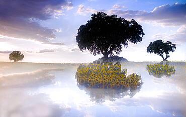 reflections of sunflower fields and holm oaks at sunset. summer sunflower yebes valdenazar guadalajara spain