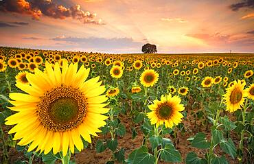 Sunset in the sunflower fields of the Mancha in summer, Yebes, Valdenazar, Guadalajara, Spain