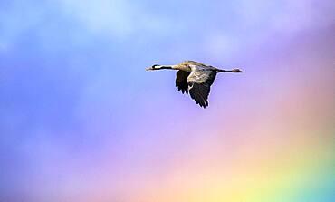 Common crane (Grus grus) going through the rainbow storm, Valdenazar, Yebes, Guadalajara, Spain