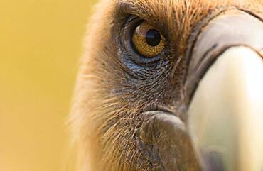 Griffon vulture (Gyps fulvus) portrait, sonsona prepirineo Catalan, Spain