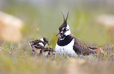 Northern lapwing (Vanellus vanellus) female with her young in spring, puebla de Bele?a, Guadalajara, Spain
