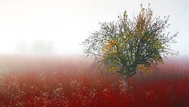 Colors of wicker fields in late autumn,between the fog, Ca?amares, Cuenca, Castilla la Mancha, Spain