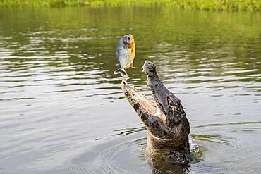 Spectacled caiman (Caiman crocodilus), catching a Piranha out of the water, Pantanal area, Mato Grosso, Brazil