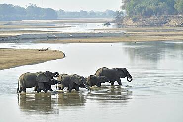 African Savannah Elephants (Loxodonta africana africana) herd crossing the Luangwa River to go to South Luangwa National Park, Zambia
