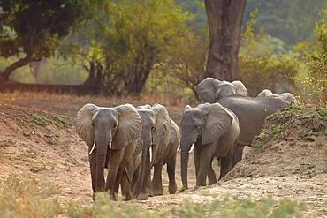 Family of African Savannah Elephants (Loxodonta africana africana) in South Luangwa NP, Zambia