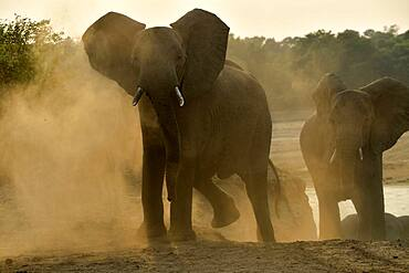 African savannah elephant (Loxodonta africana africana) coming to cross the Luangwa river at dawn, South Luangwa NP, Zambia