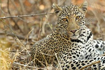 Portrait of Leopard (Panthera pardus), 6 months old, South Luangwa NP, Zambia