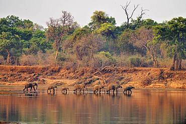 Landscape of South Luangwa NP with African Savannah Elephants (Loxodonta africana africana) crossing an arm of the Luangwa River, Zambia