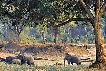 Landscape of South Luangwa NP with African Savannah Elephants (Loxodonta africana africana) and a lion (Panthera leo), Zambia
