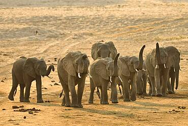 Family of African Savannah Elephants (Loxodonta africana africana), elephants raise their tubes to better sense and identify silhouettes in the distance, South Luangwa NP, Zambia