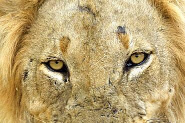 Lion's Look (Panthera leo), South Luangwa NP, Zambia