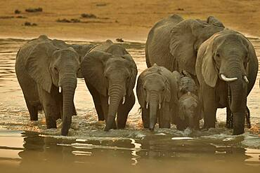 Family of African Savannah Elephants (Loxodonta africana africana) at dawn, each morning they cross the Luangwap river to join South Luangwa NP, Zambia
