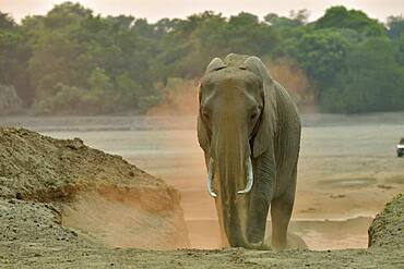 African savannah elephant (Loxodonta africana africana) sprinkling sand after crossing the Luangwa River at dawn, South Luangwa NP, Zambia