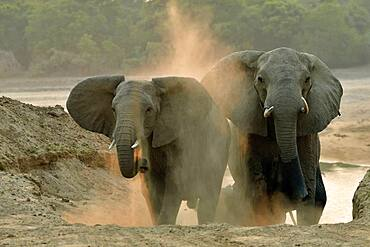 African savannah elephants (Loxodonta africana africana). They have just crossed the Luangwa River to reach the forests of South Luangwa NP, Zambia