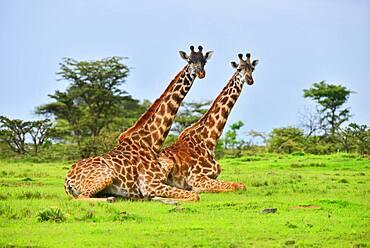 Seated giraffes (Giraffa camelopardalis) ruminating, Masai Mara national park, Kenya.