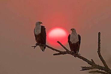 African Fish Eagle (Haliaeetus vocifer) couple on a branch at sunset, Okavango, Botswana