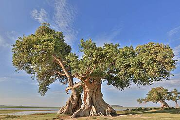 Giant sycamore fig or sycamore (Ficus sycomorus) multicentennial, giant, Rift Valley, Ethiopia