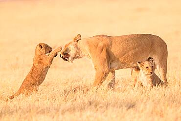 African lion (Panthera leo) lioness and lion cubs playing in the savannah, Botswana