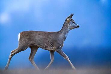 Running Roe (Capreolus capreolus), Slovakia *** Local Caption *** I took this picture in morning.