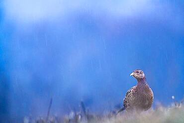 Female Pheasant (Phasianus colchicus), Slovakia *** Local Caption *** I took this picture early morning.