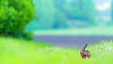 Hare (Lepus europaeus) in rainy day, Slovakia *** Local Caption *** I took this picture in afternoon.