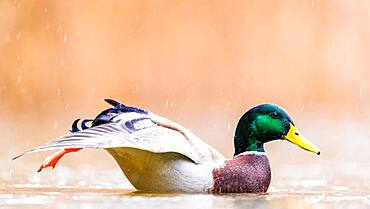 Stretching Mallard (Anas platyrhynchos), Slovakia *** Local Caption *** I took this picture in afternoon.