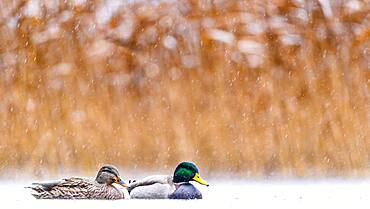 Love in the rain. Mallard (Anas platyrhynchos), Slovakia *** Local Caption *** I took this picture in afternoon.
