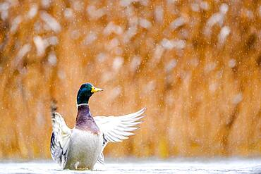 Open Wings Mallard (Anas platyrhynchos), Slovakia *** Local Caption *** I took this picture in afternoon