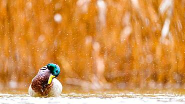 Funny Mallard (Anas platyrhynchos) on water, Slovakia *** Local Caption *** I took this picture in afternoon.