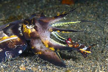 Smaller male mating with a larger female Flamboyant Cuttlefish, Metasepia pfefferi, Lembeh Strait, North Sulawesi, Indonesia .