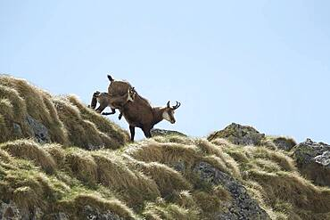 Alpine Chamois (Rupicapra rupicapra) with young, PN Mercantour, Alps, France