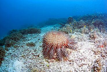 Crown-of-thorns sea star (Acanthaster planci) on dead coral. Heron Island. Great Barrier Reef. Queensland. Autralia.