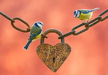 Blue tits (Cyanistes caeruleus) perched on an old heart-shaped padlock