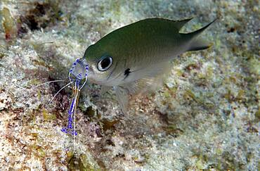 A Brown Chromis (Chromis multilineata) being cleaned by a Pederson Cleaner Shrimp (Periclimenes pedersoni). Curacao, Netherlands Antilles. Atlantic Ocean.