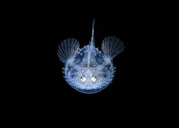 a larval Pancake Batfish, Halieutichthys aculeatus, photographed during a black water dive in about 50 feet with the bottom more than 600 feet below. Palm Beach, Florida, USA, Atlantic Ocean