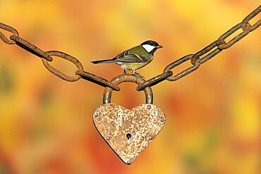 Great tit (Parus major) perched on an old padlock, England