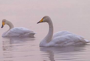 Whooper swan (Cygnus cygnus) on water, Sanmenxia, Henan ptovince, China