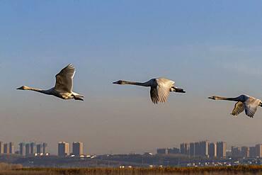 Whooper swan (Cygnus cygnus) in flight, Sanmenxia, Henan ptovince, China