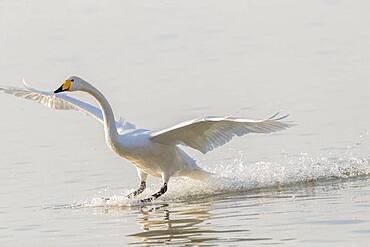 Whooper swan (Cygnus cygnus) landing on water, Sanmenxia, Henan ptovince, China