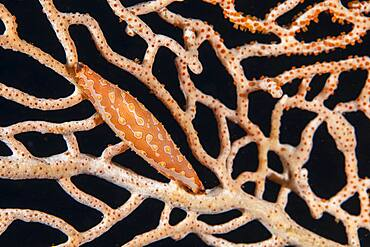 Brown-Tipped Spindel Cowrie (Pellasimnia brunneiterma) on sea fan, Misool, Raja Ampat, Indonesia